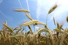 Field of rye and blue sky Royalty Free Stock Photos