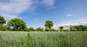 Field of rye, blue sky. Royalty Free Stock Images