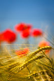 Field of rye with blurred red poppies Royalty Free Stock Photo