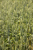 Field of rye cereal Stock Photography