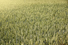 Field of rye cereal Royalty Free Stock Images