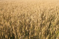 Field of rye. Close up yellow field of rye stock photo