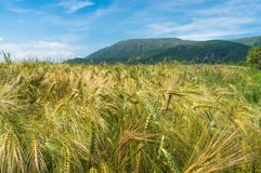 Field of rye in Serbia Royalty Free Stock Photos