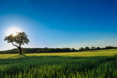 Field of rye. Solitary tree standing in a field of rye with backlighting and a dark blue sky Stock Images