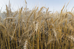 The field of rye. Spikes in the sun. Royalty Free Stock Images