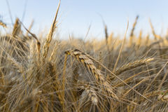 The field of rye. Spikes in the sun Royalty Free Stock Images