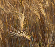 Field of the Rye Royalty Free Stock Image