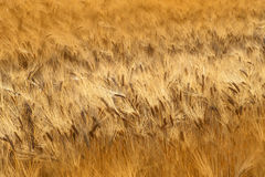 Field of the Rye royalty free stock photography