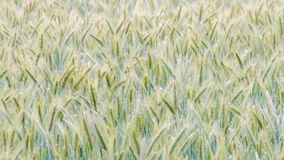 A field of Rye. In summer stock photography