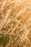 Field of rye in summer day, closeup Stock Photo