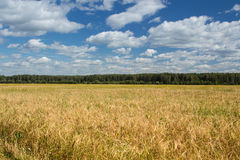 Field of rye Royalty Free Stock Photos