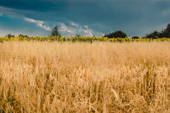 The field of rye and sunflowers on a background sky Royalty Free Stock Images