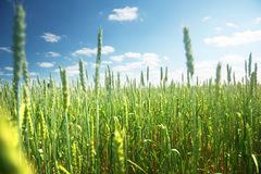 Field of rye and sunny day Royalty Free Stock Image