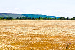 Field rye with trees Royalty Free Stock Photos