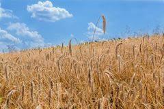 Field of rye under a blue sky Royalty Free Stock Photography