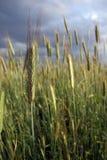 Field of rye Stock Photo