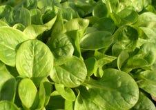Field salad. Valerianella locusta plants (field salad, corn salad stock image