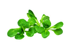Field Salad / Corn Salad Royalty Free Stock Photo