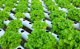 Field of salad/lettuce plantation. Royalty Free Stock Photos