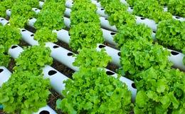 Field of salad/lettuce plantation. Royalty Free Stock Photos