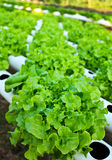 Field of salad/lettuce plantation. Stock Photography
