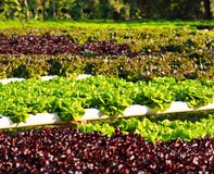 Field of salad/lettuce plantation. Stock Images