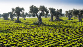 Field salad with olive trees Royalty Free Stock Image