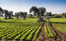 Field salad with olive trees Stock Images