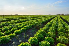 Field salad at sunset Royalty Free Stock Photography