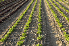 Field of salads Royalty Free Stock Images