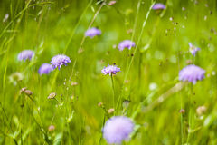 Field Scabious Royalty Free Stock Photos