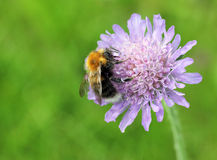 Field Scabious and Bumblebee Stock Photos