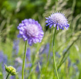 Field scabious closeup Royalty Free Stock Images