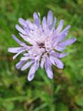 Field Scabious Royalty Free Stock Image