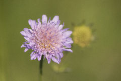 Field Scabious Stock Image