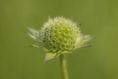 Field Scabious Royalty Free Stock Photography