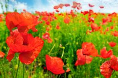 Field with scarlet poppies. Focus on the foreground. Shallow depth of field stock photo