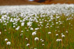 Field of Scheuchzer`s Cottongrass, Hrafnafifa, Iceland stock photography