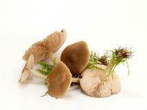 Field-schwindlings lamellar mushroom Royalty Free Stock Photos