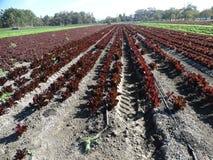 Field of Sea of Red lettuce, Lactuca sativa Stock Image
