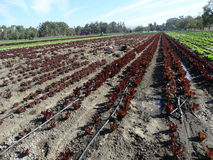 Field of Sea of Red lettuce, Lactuca sativa Royalty Free Stock Images