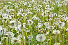 Field of seeding dandelions Royalty Free Stock Image