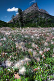 Field of Seeding Flowers With Mountain Royalty Free Stock Photo