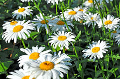 Field of Shasta Daisys. Image of a group of Shasta daisy Royalty Free Stock Image