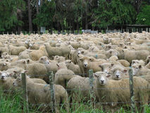 Field of sheep. A field of sheep behind a fence stock images