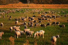 Field Of Sheep Royalty Free Stock Photography