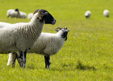 Field of sheep. Sheep grazing in a field Stock Images