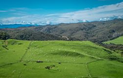 Field with sheep. Landscape with hills and mountains. Nelson area, New Zealand royalty free stock image