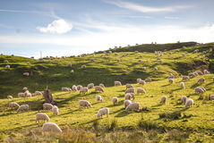 Field of sheep. Farm of healthy wooly white sheep feeding on green grass under blue sky New Zealand Stock Photography