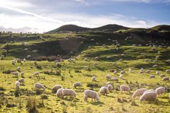 Field of sheep Royalty Free Stock Photo